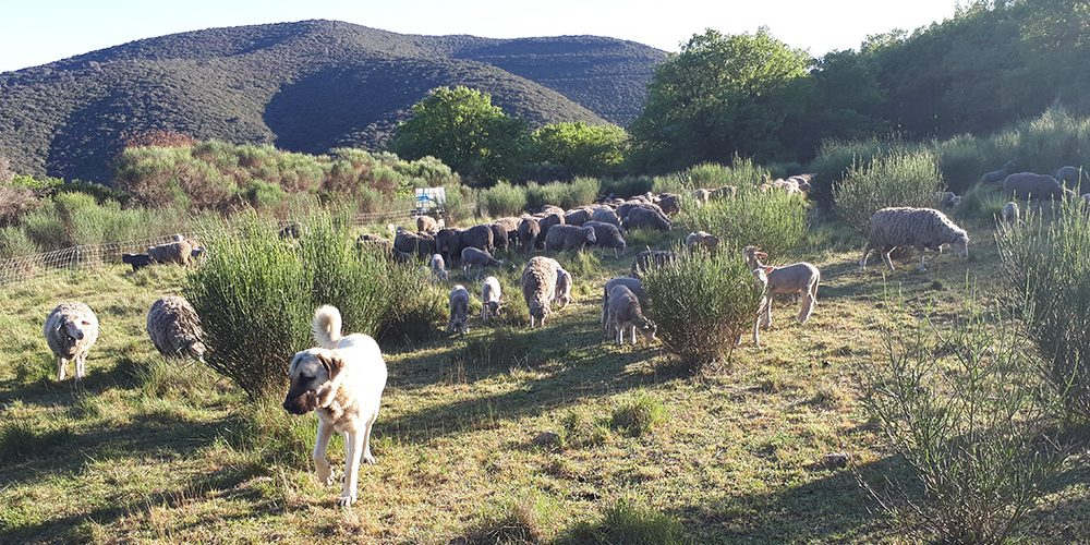 moutons chien berger Luberon France