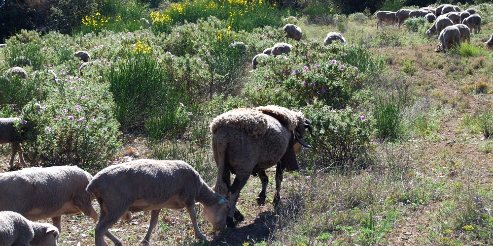 moutons paturages Luberon France